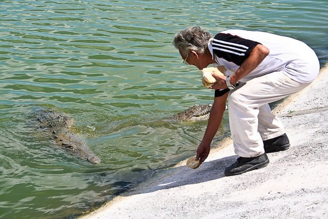 Man feeding alligators in Cayo Largo