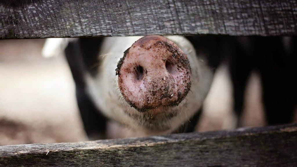 Pig fenced